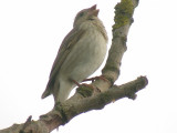 Rosenfink - Common Rosefinch (Carpodacus erythrinus)