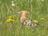Härfågel - Hoopoe (Upupa epops)