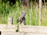 Gök - Cuckoo (Cuculus canorus)