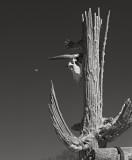 Saguaro Skeleton with Moon and Cow Skull, Arizona, 1997