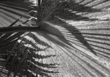 Palm and Shadows, Honolulu 1993