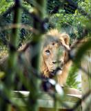 Lions-6668-1.jpg