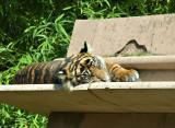 Tigers-6599-1.jpg
