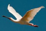 African Spoonbill - Platalea alba