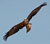 European Black Kite - Milvus migrans migrans