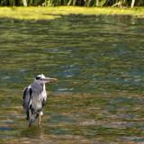 Heron_DSC_26749_S700.jpg