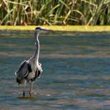Heron_DSC_26750_S700.jpg