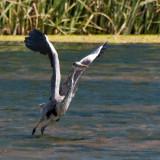 Heron_DSC_26751_S700.jpg