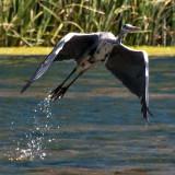 Heron_DSC_26752_S700.jpg