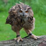 Eagle_Owl_DSC_27332_S700.jpg