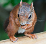 Red_Squirrel_DSC_27732_W700.jpg