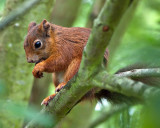Red_Squirrel_DSC_27746_W700.jpg