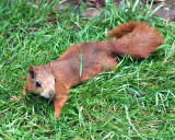 Red_Squirrel_DSC_27709_W700.jpg