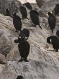Cormorant Monterey, California, March 2008
