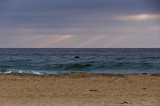Dolphin Mission Beach, San Diego, California - September - 2010