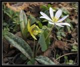 Bloodroot and Trout Lily
