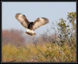 Snail kite (female)