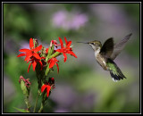 Ruby-throated hummingbird at royal catchfly