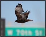 Dark morph red-tailed hawk