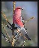 Pine grosbeak ©  Liz Stanley