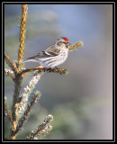 Common redpoll ©  Liz Stanley
