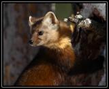 Pine marten ©  Liz Stanley
