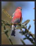 Pine grosbeak ©  Liz Stanley