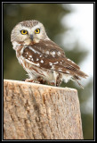 Saw whet owl (captive)