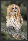 Tawny owl (captive)