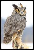Great horned owl (captive) ©  Liz Stanley