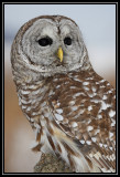 Barred owl (captive) ©  Liz Stanley