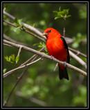 Scarlet tanager ©  Liz Stanley