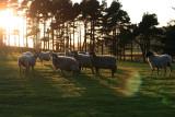 sunsetty sheep