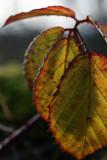 leaf echo