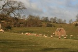 sheep and shed