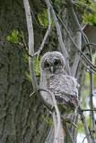 Owlet.