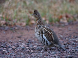 Ruffed Grouse 3902