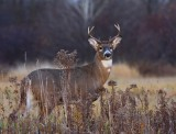 White-tailed Deer 3894