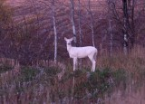 Albino White-tailed Deer 3622a