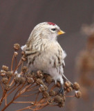 Redpoll - Common or Hoary?