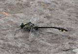 Splendid Clubtail (Gomphus lineatifrons)