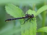 Rapids Clubtail (Gomphus quadricolor)