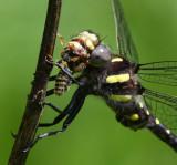 Spiketails (Family Cordulegastridae)