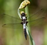 Chalk-fronted Corporal (Libellula julia)