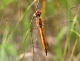 Wandering Glider (Pantala flavescens)