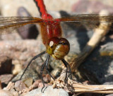 Unknown Meadowhawk (Ruby/Cherry-faced)