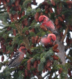 White-winged Crossbills 6476