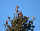 White-winged Crossbills 6333