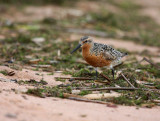 Red Knot 2296