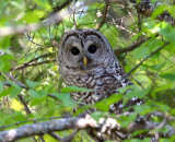 Barred Owls - May 2009